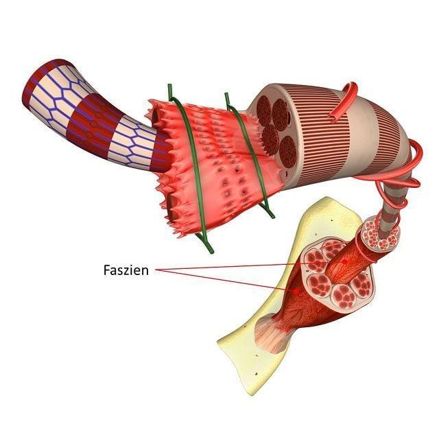 Die Faszien oder auch Muskelhaut genannt durchziehen den ganzen Körper und bilden dadurch eine Art Spannungsnetzwerk welches jeden Muskel umhüllt.