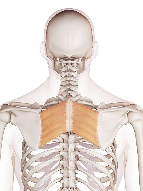 Der große Rautenmuskel (lat. musculus rhomboideus major) befestigt zusammen mit dem Kapuzenmuskel und dem kleinen Rautenmuskel das Schulterblatt am Brustkorb. Zudem zieht er das Schulterblatt in Richtung Wirbelsäule.