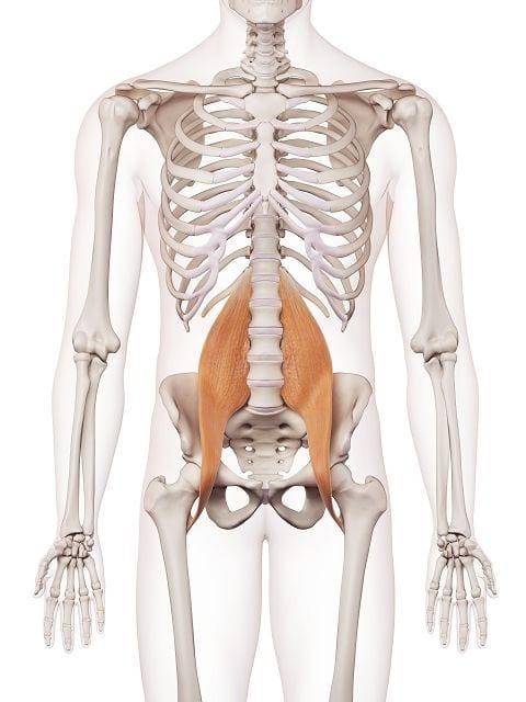 Der große Lendenmuskel (musculus psoas major) und gehört gemeinsam mit Darmbeinmuskel (Musculus iliacus) zu den Hüftbeugern. Er verbindet den 12. Brustwirbel, die Lendenwirbel 1 - 5 mit dem Rollhügel des Oberschenkelknochens.