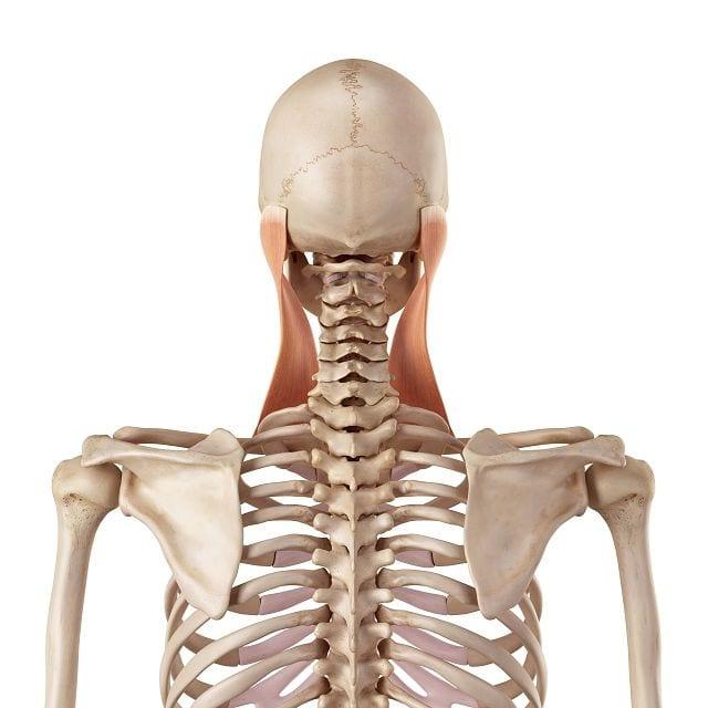 Der Kopfwender (lat. musculus sternocleidomastoideus) ist ein Muskel zwischen Brustbein, Schlüsselbein und der Schädelbasis. Er erlaubt uns eine seitliche Neigung des Kopfes in Richtung Schulter, eine Streckung des Halses nach hinten.