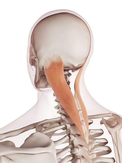 Der Riemenmuskel (musculus splenius capitis) ermöglicht uns das drehen und heben des Kopfes. Die Ursachen für Verspannungen sind längeres über Kopf arbeiten, seitlich angeordneter Bildschirm am Arbeitsplatz oder ein überstreckter bzw. gestauchter Nacken während des Schlafens auf dem Rücken.