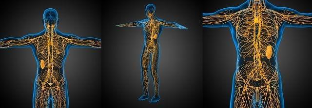 Das lymphatische System ist Teil des Immunsystems und teilt sich in auf in lymphatische Organe und Lymphgefäßsystem. Zusätzlich übernimmt es Aufgaben für den Flüssigkeitstransport und ist eng mit dem Blutkreislauf verbunden.
