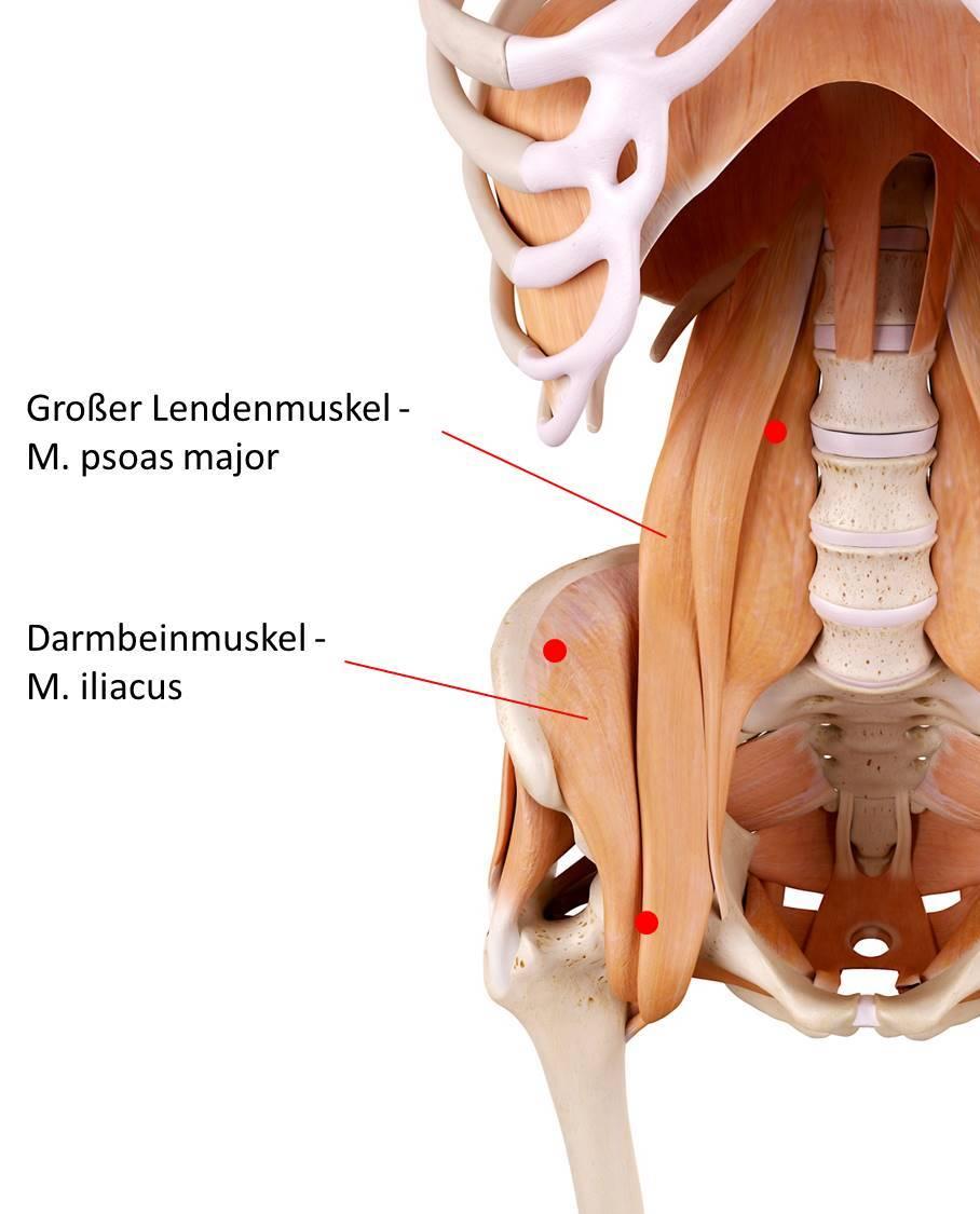 Der Lenden-Darmbeinmuskel besteht aus dem großen Lendenmuskel ( lat. musculus. psosas major) und dem Darmbeinmuskel (lat. musculus iliacus). Triggerpunkte in den beiden Muskeln verursachen häufig Rückenschmerzen im Lendenwirbelbereich.