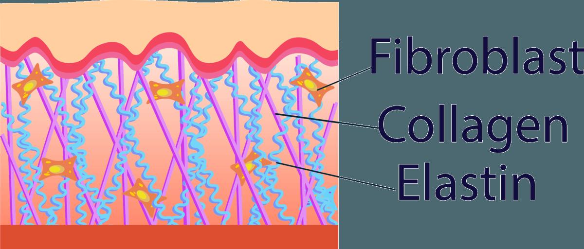 Die Fibroblasten produzieren Kollagenfasern und bilden daraus die sogenannte Matrix. Hinzu kommt Elastin und Gewebeflüssigkeit.