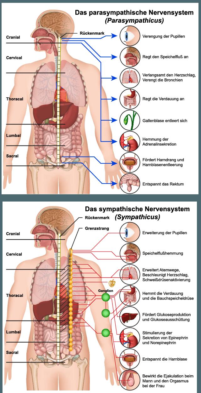 Das vegetative Nervensystem löst automatisch ablaufende innere körperliche Prozesses aus. Als Beispiel können hier die Pupillen genannt werden. Der Sympathikus weitet die Pupillen, der Parasympathikus verengt sie.