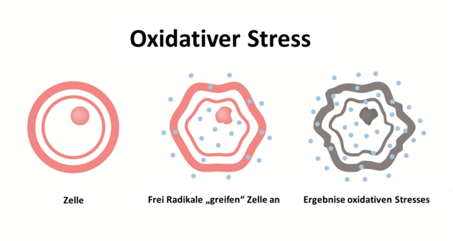 Oxidativer Stress verursacht kann Zelltod, Krebs, gehemmte Eiweißbildung, Zerstörung von Rezeptoren an Zelloberflächen verursachen.