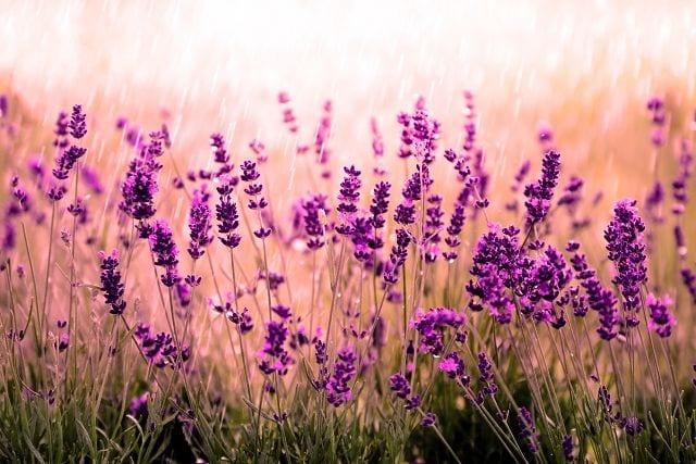 Das ätherische Öl aus Lavendel ist eines der Beliebtesten und kann als eines der wenigen unverdünnt auf die Haut aufgetragen werden.