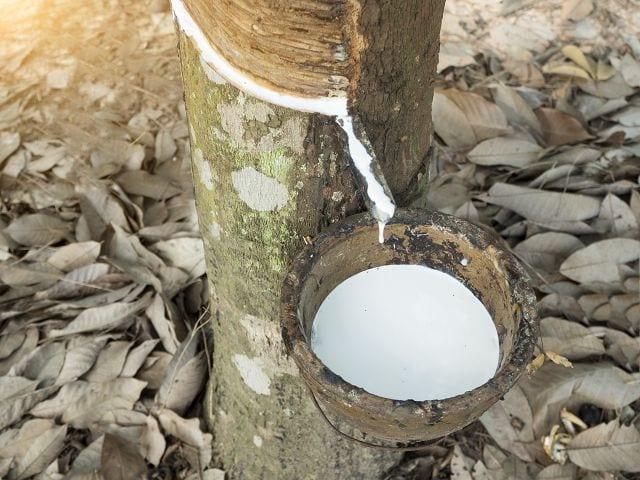 Naturlatex ist ein nachwachsender Rohstoff und somit aus ökologischem Aspekt eine sehr sinnvolle Sache.