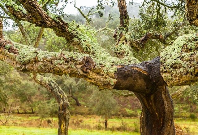 Kork wird aus der Rinde des Korkbaumes gewonnen und ist ein nachwachsender Rohstoff.
